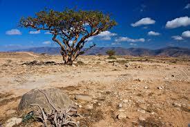boswallia tree